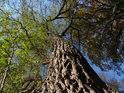 Vzrostlá vrba na levém břehu Svitavy mezi Bílovicemi a Brnem.