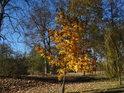 Mladý dub na pravém břehu Svitavy převlečený do podzimních barev.