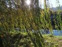 Slunce si našlo cestu mezi listy smuteční vrby na levém břehu Svitavy v Blansku.