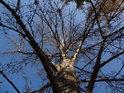 Výrazný topol na břehu Svitavy.