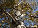 Do podzimu se zbarvující bříza na břehu Svitavy.