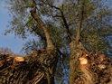 Dvojice vzrostlých vrb na břehu Svitavy s čerstvě uřezanými větveni.