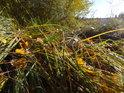 Podzimní tráva na břehu Svitavského rybníka.